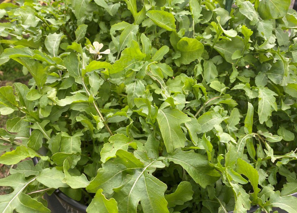 Rocket Salad seedlings